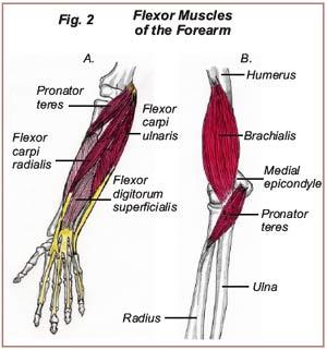 Medial Epicondylitis / Pitcher's Elbow | Dubin Chiropractic